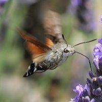 Esfinge colibrí, prodigiosa polilla