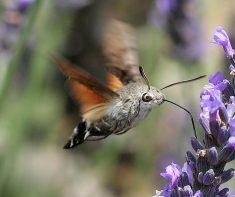 Esfinge colibrí. Foto: IronChris.