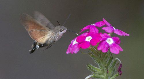 Esfinge colibrí. Foto: Jerzy Strzelecki.