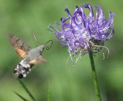 Ejemplar de esfinge colibrí. Foto: Roger Culos.