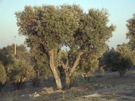 Ejemplar de olivo.