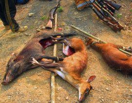 Un jabalí y dos ciervos abatidos por cazadores. Foto: Thai Lanah.