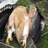La muerte de tres águilas imperiales en Toledo revela la amenaza que suponen los tendidos eléctricos