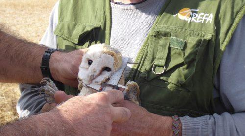 Toma de medidas de una lechuza durante su marcaje con GPS en Castilla y León. Foto: GREFA.