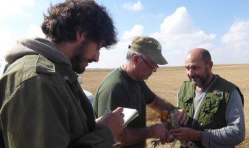 Un especialista coloca un emisor GPS a una lechuza en Castilla y León. Foto: GREFA.