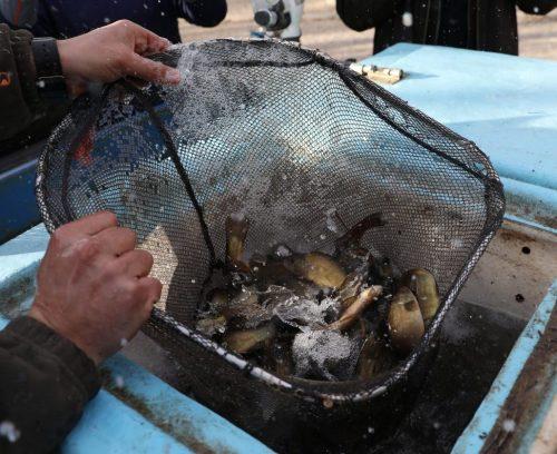 Las primeras tencas llegan al lago de la Casa de Campo. Foto: Ayto. de Madrid.