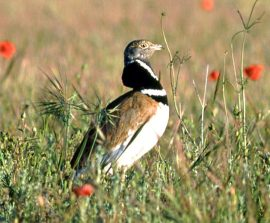 La población de sisón desciende un 50% en la última década. Foto: SEO/Birdlife.