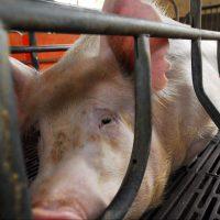 Medio millón de europeos firman para eliminar las jaulas de todas las granjas