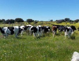 vacas-de-leche-e1496342782122