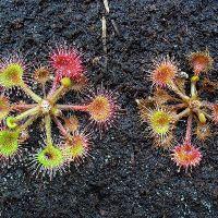 Drosera rotundifolia, abrazo letal