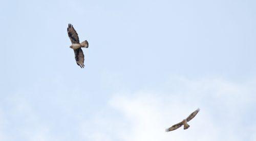 Águilas de Bonelli reintroducidas crían por primera vez en la Comunidad de Madrid. Foto: Sergio de la Fuente (GREFA).
