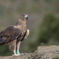 SEO/BirdLife evalúa el estado de conservación de las aves con la elaboración de un nuevo Libro Rojo