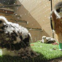16 águilas de Bonelli criadas en cautividad están siendo reintroducidas en España y Cerdeña