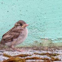 SEO/BirdLife lanza 'No lo cojas', ¿cómo actuar si nos encontramos pollos caídos?