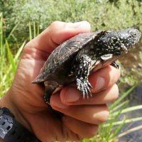 GREFA libera ocho galápagos europeos en su hábitat natural