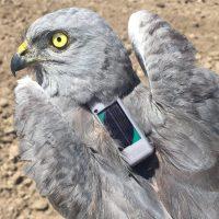 86 aves con GPS desvelan sus rutas migratorias