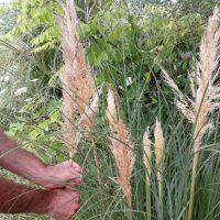 Objetivo: frenar la expansión del plumero de la Pampa