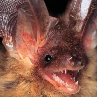Murciélago orejundo, azote de polillas