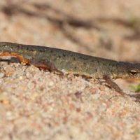 Descubren dos nuevas especies de anfibios de la península ibérica