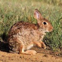 Asaja Madrid denuncia la superpoblación del conejo en el sureste madrileño
