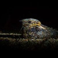 Las aves nocturnas podrían comunicarse a través de la fluorescencia de sus plumas