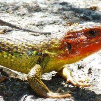 Las lagartijas ibéricas toleran la variabilidad de las altas temperaturas mejor de lo que se preveía