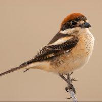 El alcaudón común aprovecha el mal estado físico de otras aves migratorias para cazarlas