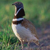 SEO/BirdLife solicita catalogar al sisón común como en peligro de extinción