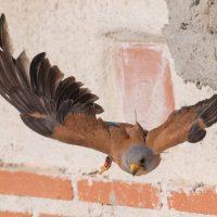 Proyecto +GRAPEQ: un año de trabajo en favor de seis especies de rapaces amenazadas
