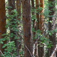Reforesta necesita colaboradores para salvar  árboles autóctonos en Madrid