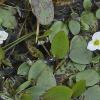 Reencuentran cerca de la Comunidad de Madrid una planta en peligro de extinción