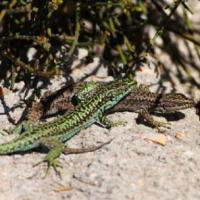 Las lagartijas carpetanas pueden utilizar estrategias reproductivas alternativas a las señales sexuales