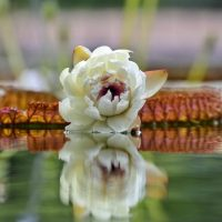 Florece por vez primera el nenúfar gigante Victoria en el Real Jardín Botánico