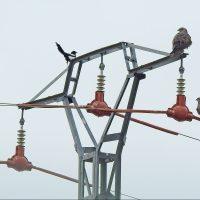 Un Libro Blanco aborda por primera vez en España el grave problema de la electrocución de aves