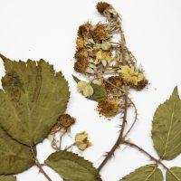 Descubierta una nueva especie de zarza en la Sierra de Guadarrama