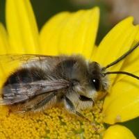 No todas las abejas fabrican miel; el dulzor de las silvestres