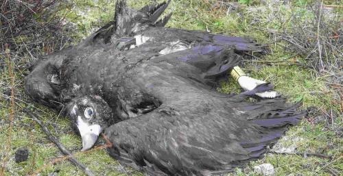 Risco, buitre negro envenenado, con GPS y anilla visibles. Foto: GREFA.