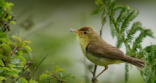 Melodious_warbler_(Hippolais_polyglotta),_Le_Petit_Loc'h,_Guidel,_Brittany,_France_(19765512360)
