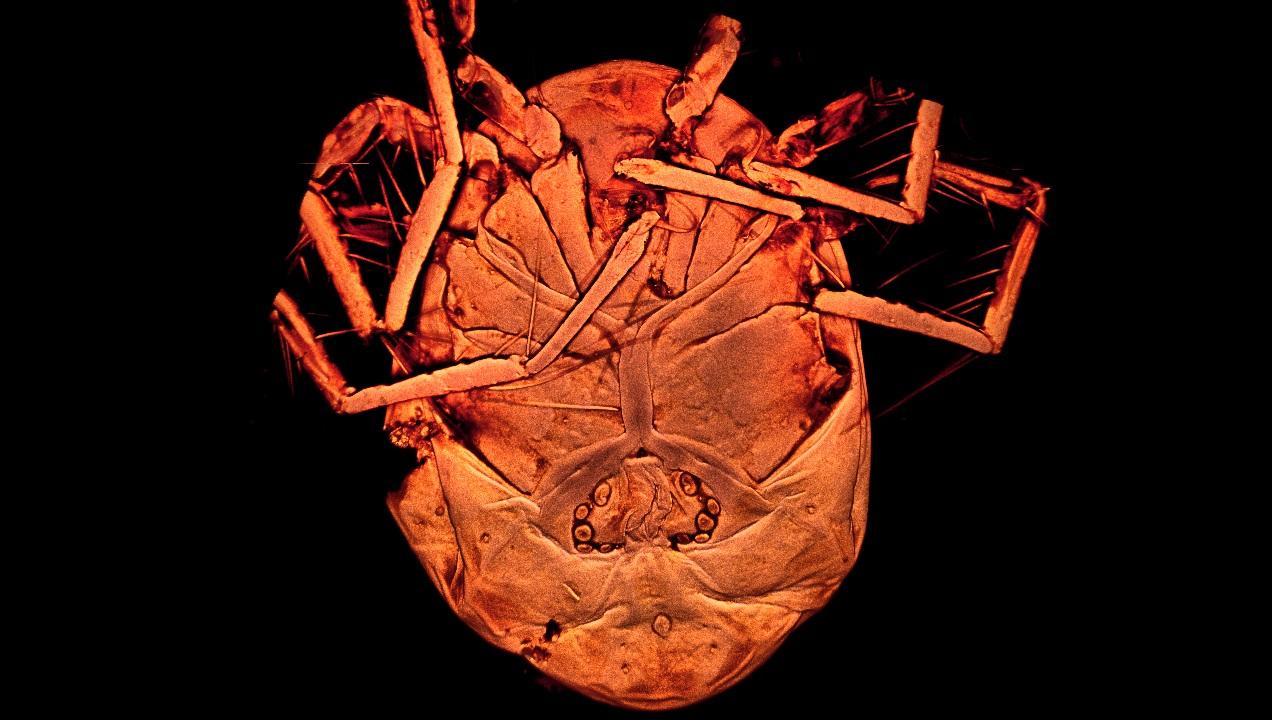 Vista ventral del ácaro descrito, 'Piona Alpedretinea'. Antonio G. Valdecasas