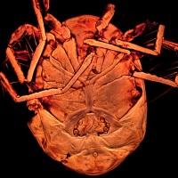 Describen una nueva especie de ácaro en las charcas de Alpedrete