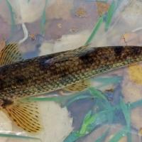 Gobio ibérico, prolífico pez