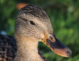 duck-g2474fc3e0_640