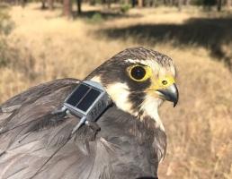 Alcotán con GPS. Autor: J. de la Puente/SEOBirdLife.
