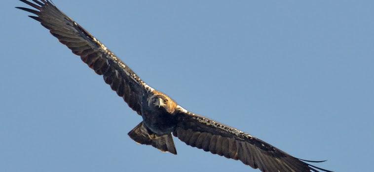 Águila imperial en vuelo .©Luis Martínez.
