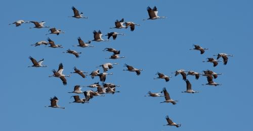 Grullas en migración. @Tatavasco Imagen.